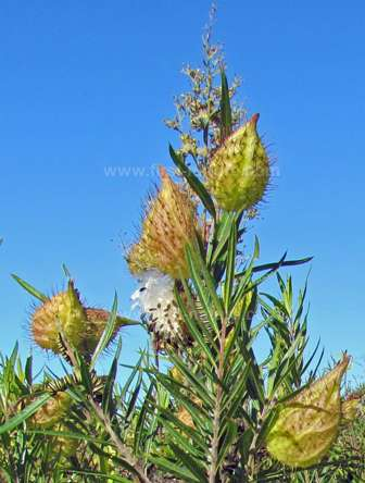 Bristle-coated Silkweed