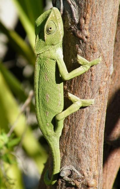 European Chameleon - green colouring