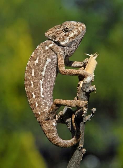European Chameleon - brown colouring