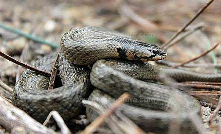 False Smooth Snake