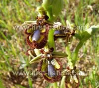 Ophrys speculum - Mirror Orchid