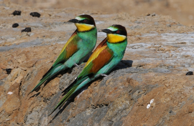 european bee eaters in the algarve a guide to identification and