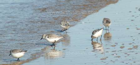 Sanderlings on the shore of the Alvor estuary