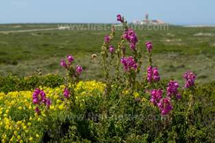 Wildflowers at Cape St Vincent