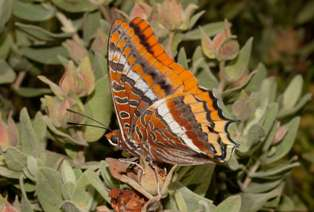 The Two-tailed Pasha