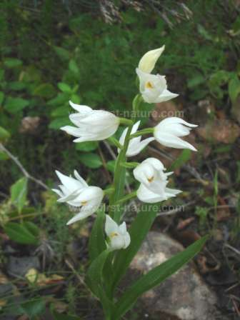 algarve wild orchids, picture gallery, Beautiful flower