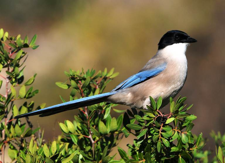 Algarve Wildlife - Iberian Azure-winged Magpie